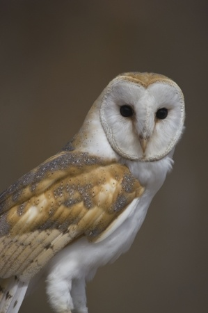 barn owl facts barn owl information twootz