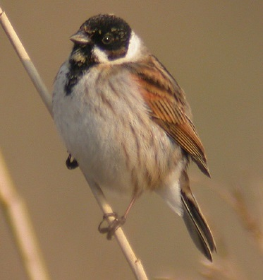 Reed Bunting Facts Reed Bunting Information Twootz Com