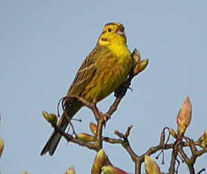 yellowhammer facts yellowhammer information twootz com