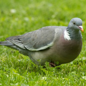 Woodpigeon Facts Woodpigeon Information Twootz Com