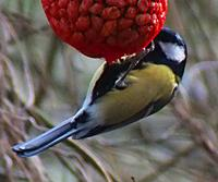 Great Tit2