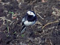 Pied Wagtail2