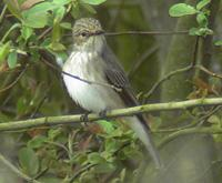 Spotted Flycatcher2
