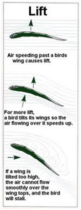 How Birds Fly