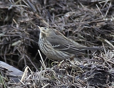 Buff-Bellied Pipit and Siberian Chiffchaff in the North West