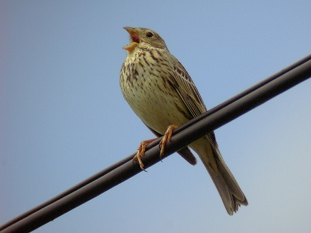 Singing male Corn Bunting