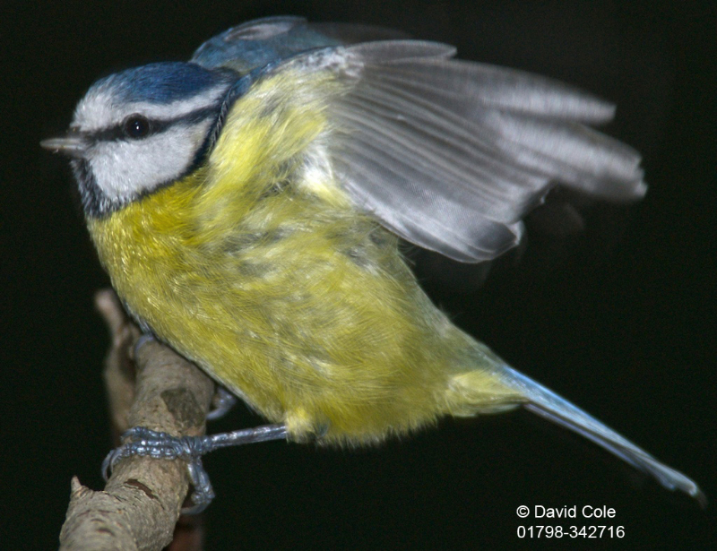 Blue Tit Windy