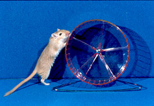 Gerbil in wheel