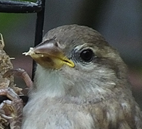 Juv House Sparrow