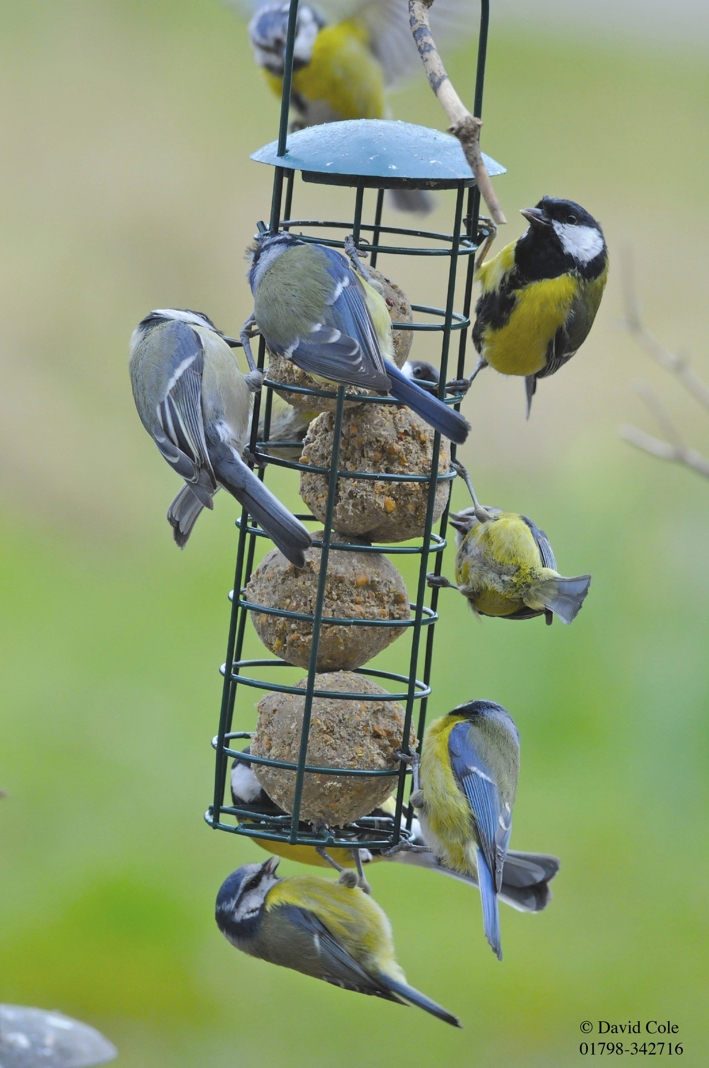 Birds Feeding On Fat Balls
