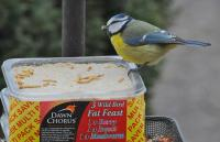Blue Tit Feeding on Dawn Chorus Fat Feast Suet Block 1