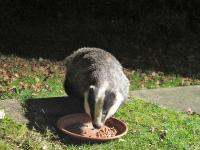 Badger in garden eating peanuts