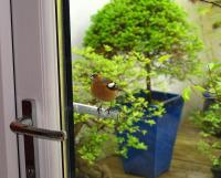 Chaffinch on door handle
