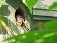 Wren chicks in nest box