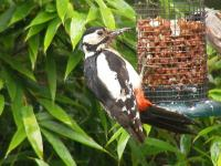 A Greater Spotted Woodpecker on our nut feeder. He came for a few days and then disappeared,