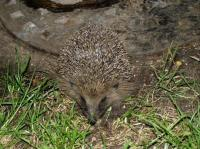 Often have hedgehogs nesting in my rock-less rockery.