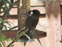 Starling showing the spots on the plumage