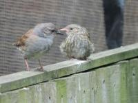 Dunnocks, Parent with chick.....