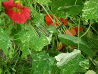 Cabbage White Butterfly Caterpillars on the nasturtium
