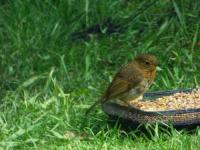 Young Robin after the Twootz feed.