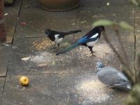 Two magpies, one pigeon and an apple.