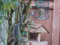 Grey Squirrels might look sweet but do so much damage to the feeders and even see one have a go at a blue tit