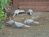 Collared Doves after Twootz..