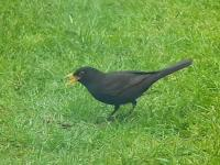Male Blackbird singing while looking for feed for it's young.He's keeping in touch with his family and I dare say his Mrs  is now sitting on the next future clutch as this generation near on fully fledged.