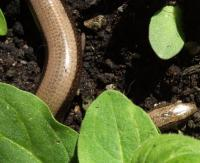 Slow worm has been living in my front garden for years.