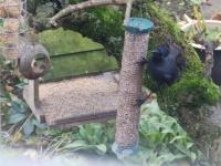 Jackdaw on the insect suet pellets