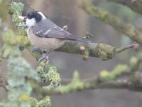 Coaltit with a mouthful