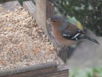 Male chaffinch needing to wipe his chin today on Christmas Eve