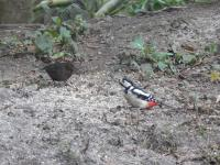 Blackbird and Great Spotted Woodpecker happily feeding together
