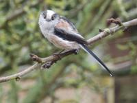 Long tailed tit stopped long enough to pose for a photo!
