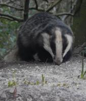 The Badger was out early tonight at 6pm for his peanuts