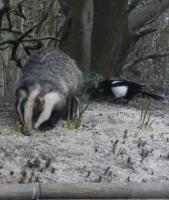 Badger and Magpie sharing the peanuts