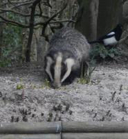 Magpie getting the needle with the Badger