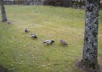 A few wild ducks which visit me every year to feed