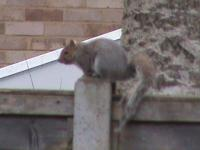 This squirrel is a frequent visitor to our garden he is often seen trying to climb the bird feeder pole but its too slippery for him to hang onto, I have even seen him jumping from the ground hoping to get a hold, but he hasn't managed it yet,