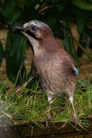 This handsome Jay knows where to get its Breakfast.