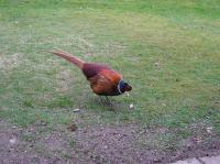 This is a beautiful big pheasant i named Phil.He has been resident here around my gardens for 2 years now and is a friendly big boy.