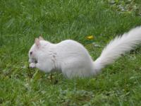 Rare Albino Squirrel turned up in My garden today only 30 in the Country