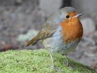 My tame Robin who came into my garden barely out of its nest, not in the best of health but has survived the winter and even raised a family which I am hoping she will show me.