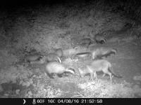 Badgers and foxes come together every night to feed on the Blanched peanuts