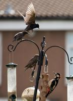 Starlings and Woodpecker