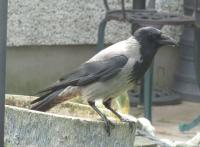 Hooded crow taking a pit stop from Ireland ..rare here in North Wales