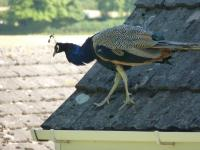 A peacock on the roof of our house!