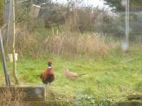 Mr & Mrs Pheasant having breakfast in my garden