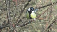 Heres looking at you ...great tit