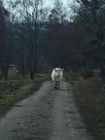 Cow in wild following me!